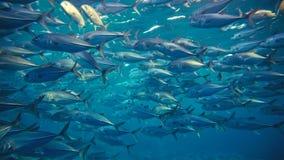 Grupo de peixes de atum no mar imagem de stock