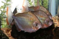 Grupo de peixes do dólar de prata. Imagens de Stock Royalty Free