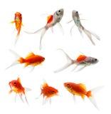 Grupo de peixes do ouro no fundo branco Foto de Stock Royalty Free