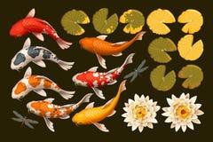 Grupo de peixes e de lótus do koi Imagem de Stock