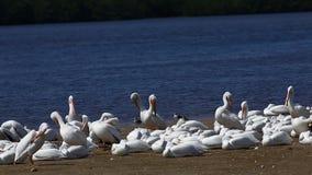Grupo de pelícano blanco, erythrorhynchos del Pelecanus almacen de metraje de vídeo