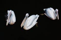 Grupo de pelícanos blancos que nadan en el agua oscura Imagenes de archivo