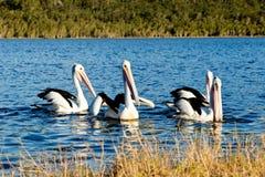 Grupo de pelícanos que nadan en el lago Foto de archivo