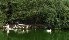 Grupo de pelicano em um lago fotos de stock