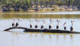 Grupo de pelicanos Fotos de Stock