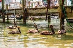 Grupo de pelicanos Imagens de Stock Royalty Free