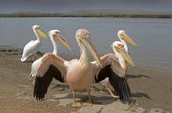 Grupo de pelicanos Imagens de Stock