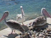 Grupo de pelicanos foto de stock royalty free