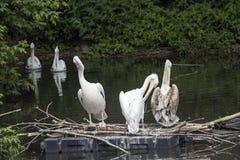Grupo de pelicanos que sentam-se na árvore no lago do th Imagens de Stock Royalty Free