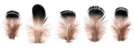 Grupo de penas de pássaro pequenas frágeis bonitas isoladas fotografia de stock royalty free