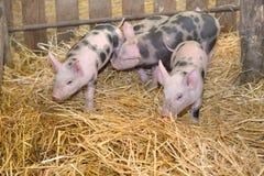 Grupo de pequeños cerdos Foto de archivo libre de regalías