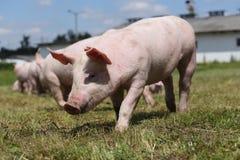 Grupo de pequeños cerdos que comen la hierba verde fresca en el prado Fotos de archivo libres de regalías