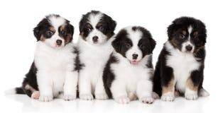 Grupo de perritos australianos del pastor que presentan en blanco fotografía de archivo libre de regalías