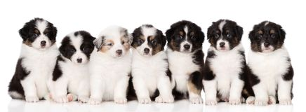 Grupo de perritos australianos del pastor que presentan en blanco foto de archivo libre de regalías