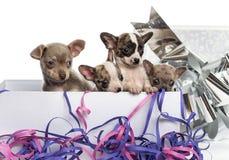 Grupo de perritos de la chihuahua en una actual caja con las flámulas Foto de archivo