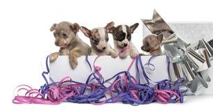 Grupo de perritos de la chihuahua en una actual caja con las flámulas Foto de archivo libre de regalías