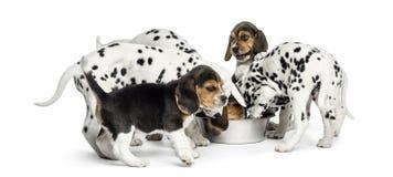 Grupo de perritos del dalmatian y del beagle que comen todos junto fotos de archivo