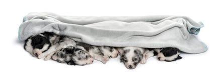 Grupo de perritos del híbrido en una toalla aislada en blanco Fotografía de archivo libre de regalías