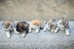 Grupo de perritos del husky siberiano Imagenes de archivo