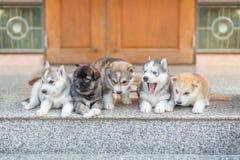 Grupo de perritos del husky siberiano Fotografía de archivo libre de regalías