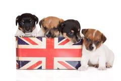 Grupo de perritos del terrier de Russell del enchufe en blanco Foto de archivo libre de regalías