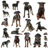 Grupo de perro pastor de Beauce Foto de archivo libre de regalías