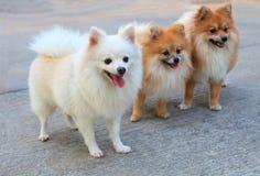 Grupo de perro pomeranian blanco y de color marrón Imagenes de archivo