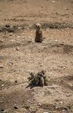 Grupo de perros de las praderas Imagen de archivo libre de regalías