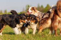 Grupo de perros de pastor australianos que juegan al aire libre Fotografía de archivo libre de regalías