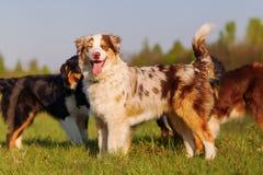 Grupo de perros de pastor australianos que juegan al aire libre Fotos de archivo libres de regalías