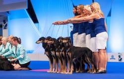 Grupo de perros de Saluki en la exposición canina Fotografía de archivo