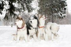 Grupo de perros en derivas de la nieve Fornido Edad 3 años Imagen de archivo libre de regalías