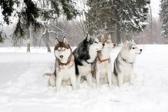 Grupo de perros en derivas de la nieve Hamming fornido Edad 3 años Imagen de archivo libre de regalías