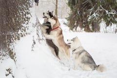 Grupo de perros esquimales hermosos 3 perros Invierno Bosque Fotografía de archivo libre de regalías