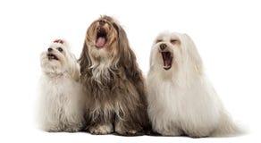 Grupo de perros malteses, bostezo, sentándose en fila Fotografía de archivo libre de regalías