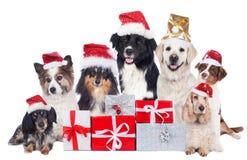 Grupo de perros pedigríes con los regalos de la Navidad con los sombreros de santa Foto de archivo