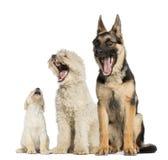 Grupo de perros que bostezan imagenes de archivo