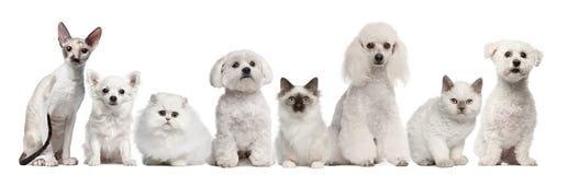 Grupo de perros y de gatos que se sientan delante de blanco Imágenes de archivo libres de regalías