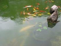 Grupo de pescados chinos coloful en la charca Imagen de archivo libre de regalías