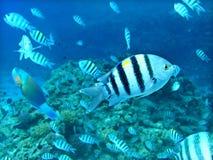 Grupo de pescados coralinos en agua azul. Mar Rojo. Foto de archivo libre de regalías