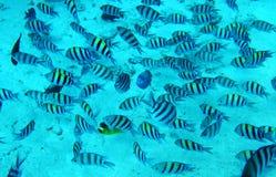 Grupo de pescados coralinos en agua azul. Mar Rojo. Foto de archivo