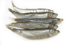 Grupo de pescados del espadín Imágenes de archivo libres de regalías