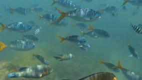 Grupo de pescados de la trucha salmonada metrajes