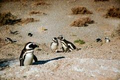 Grupo de pingüinos Imagen de archivo libre de regalías