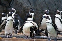 Grupo de pingüinos africanos Imagenes de archivo