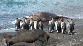 Grupo de pingüinos de rey en el fondo de sellos en la playa de Falkland Islands almacen de video