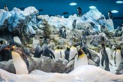 Grupo de pinguim no jardim zoológico - rei Penguins imagem de stock royalty free