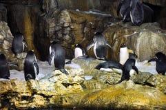 Grupo de pinguins Fotografia de Stock