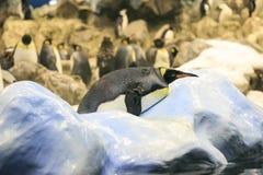 Grupo de pinguins em um jardim zoológico fotos de stock