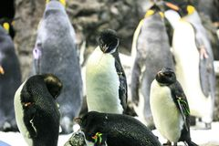 Grupo de pinguins em um jardim zoológico fotos de stock royalty free